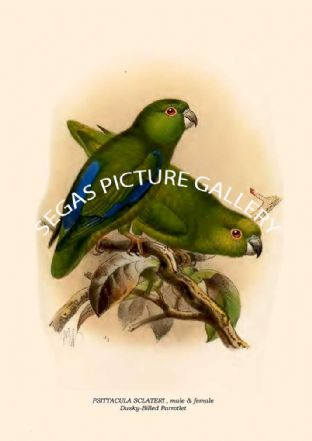 PSITTACULA SCLATERI - Dusky-Billed Parrotlet